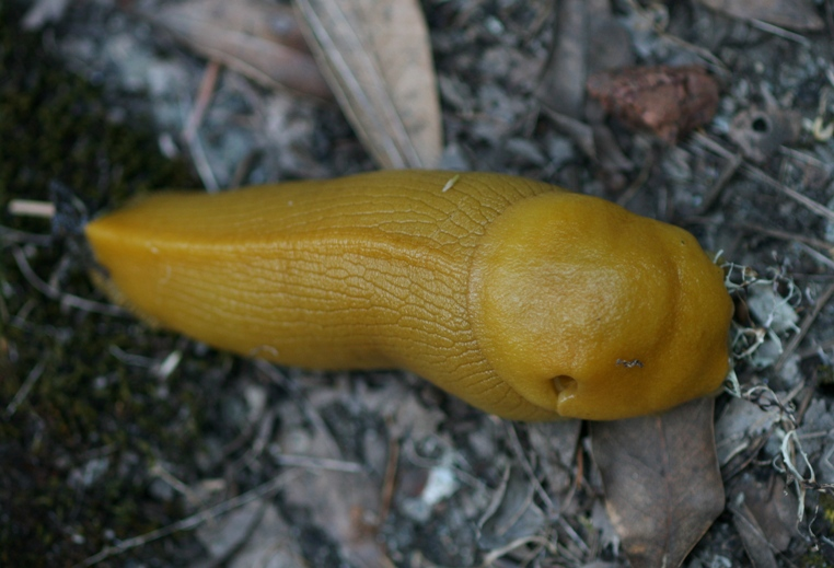 banana slug looks like a penis