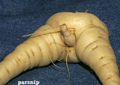 erotic parsnip
