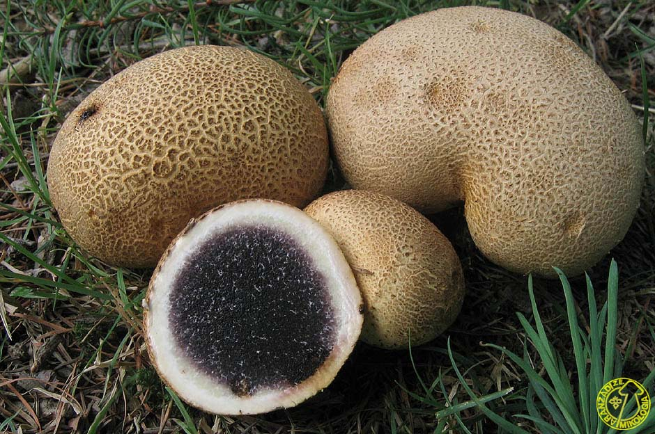 Scleroderma citrinum erotic mushroom with bottom