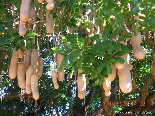 sausage tree fruits