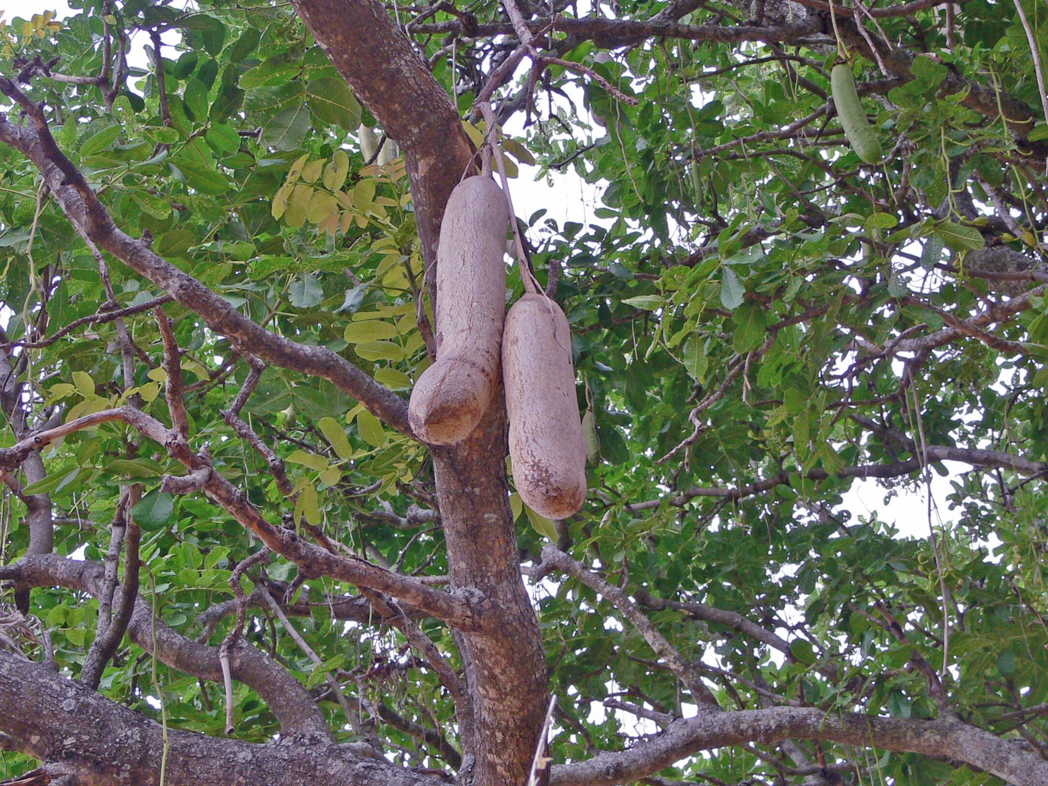 penis-like fruit sausage tree