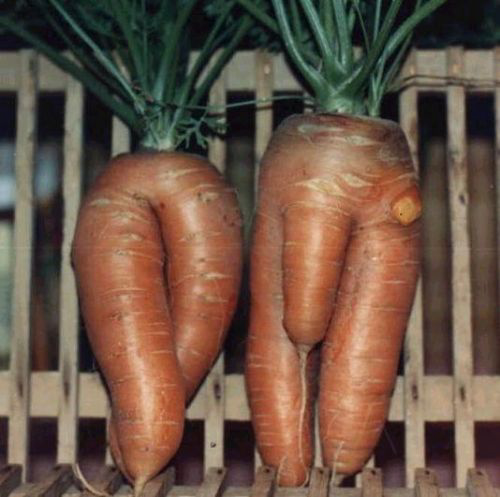 2 male carrots - what could they do together?