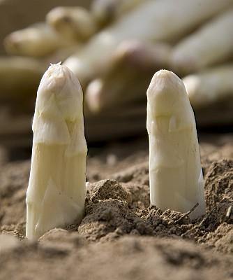erotic white asparagus tip